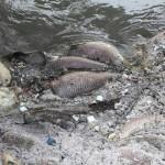 pesci-morti-cavo-cerca3