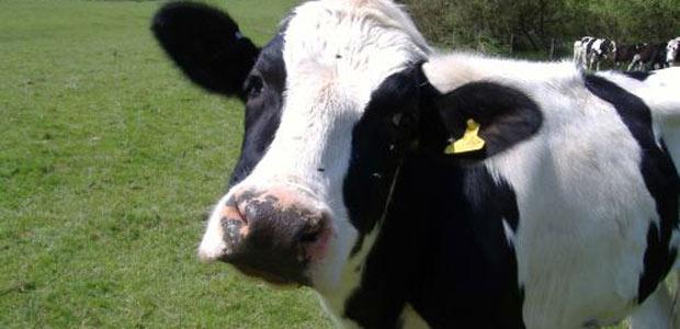 mucche-parti