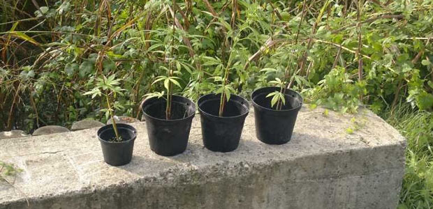 marijuana-piante