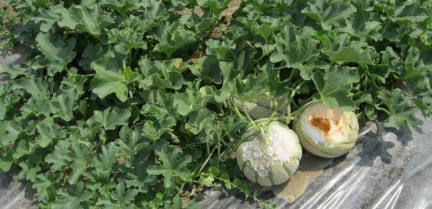meloni nutrie-evid